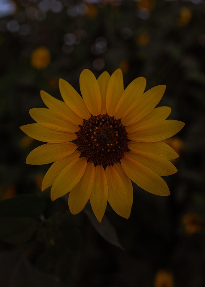 san antonio texas sunflower wildflower